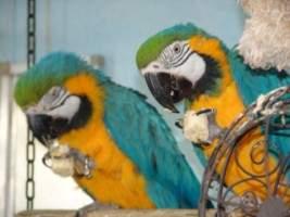 Unsere Papageien Lolaa & Jacop