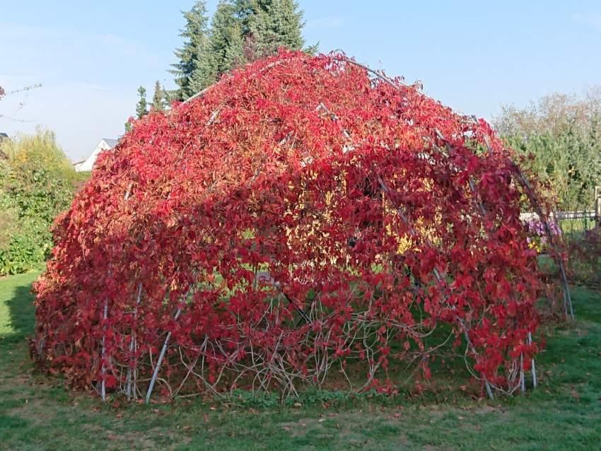 Die 6-m-Weinlaube in Herbstfärbung